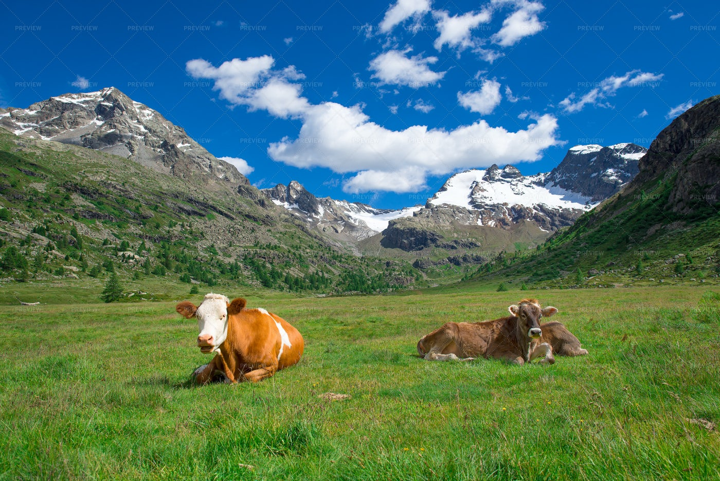 Grazing Cows In The Mountains: Stock Photos