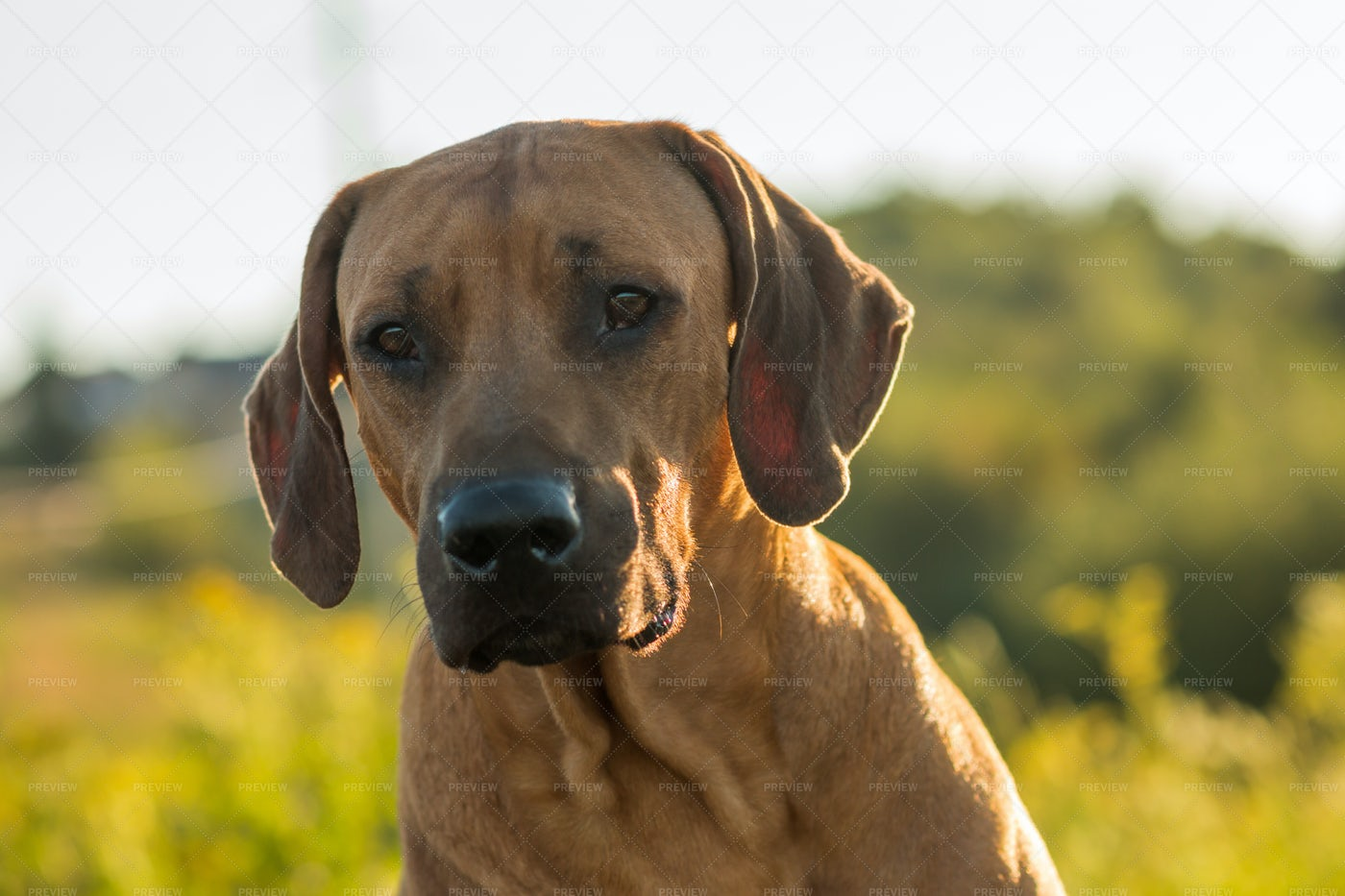 Rhodesian Ridgeback Dog: Stock Photos
