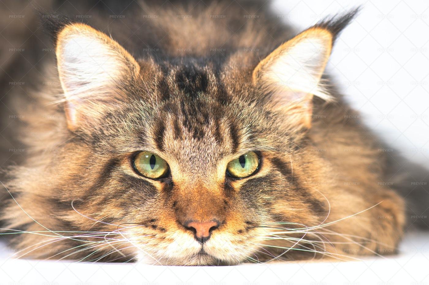Maine Coon Cat: Stock Photos