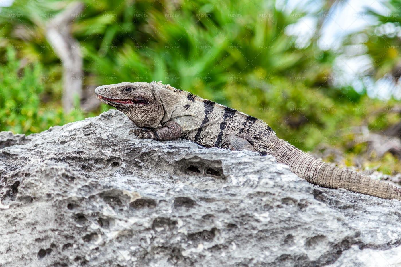 Brown Iguana: Stock Photos