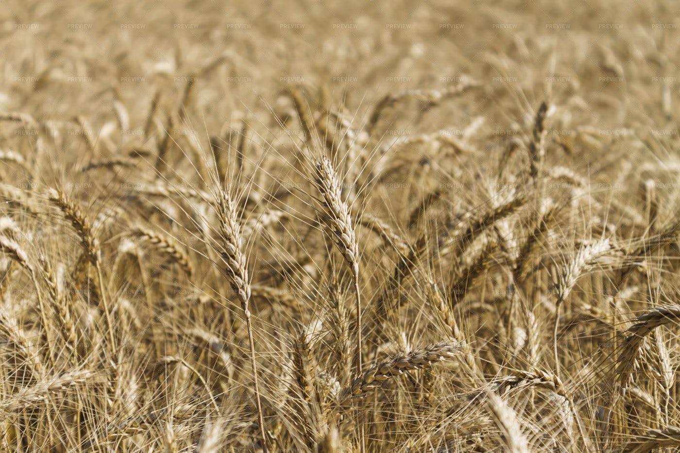 Ripening Corn: Stock Photos
