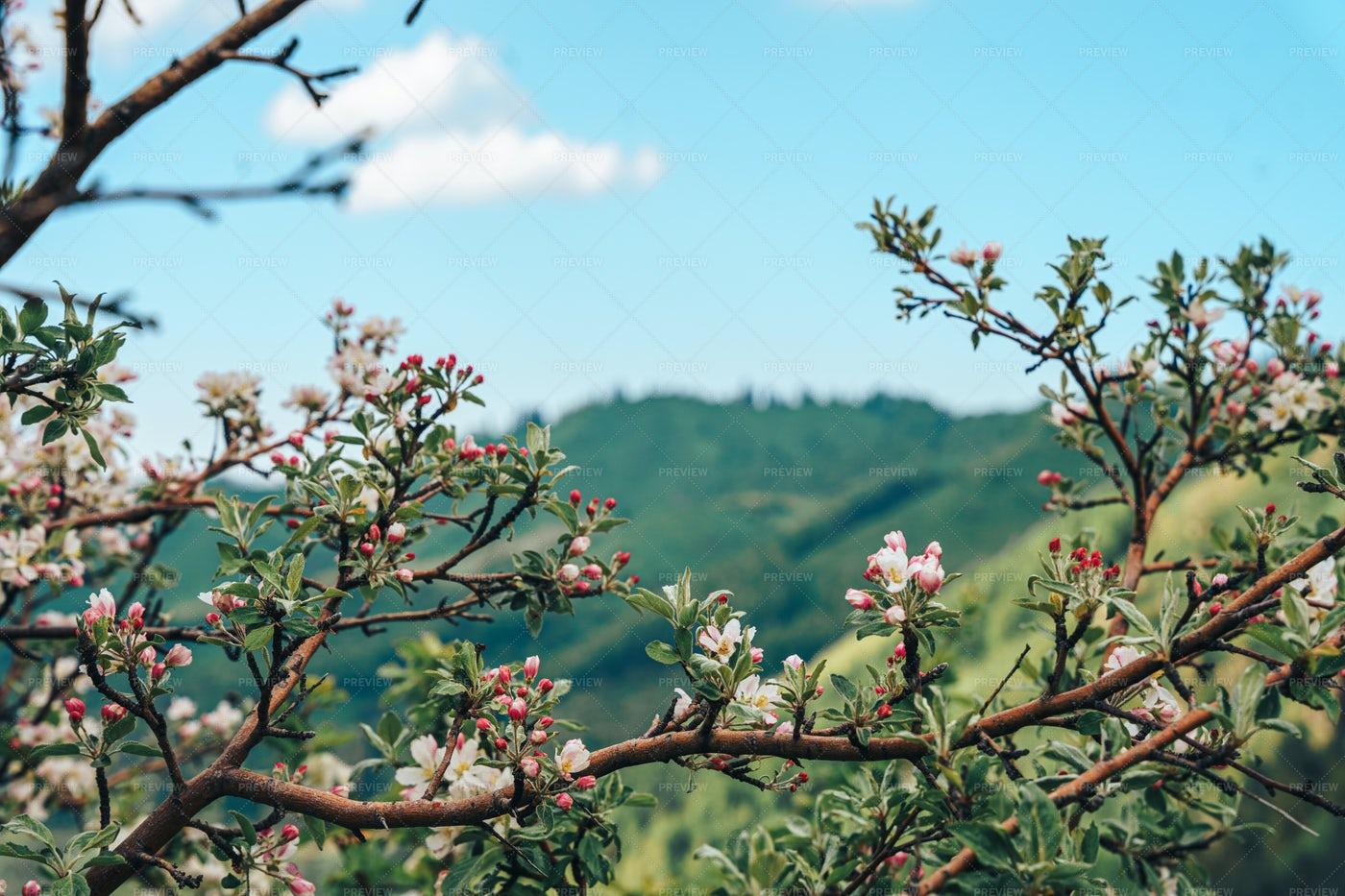 Blooming Tree Near Mountains: Stock Photos