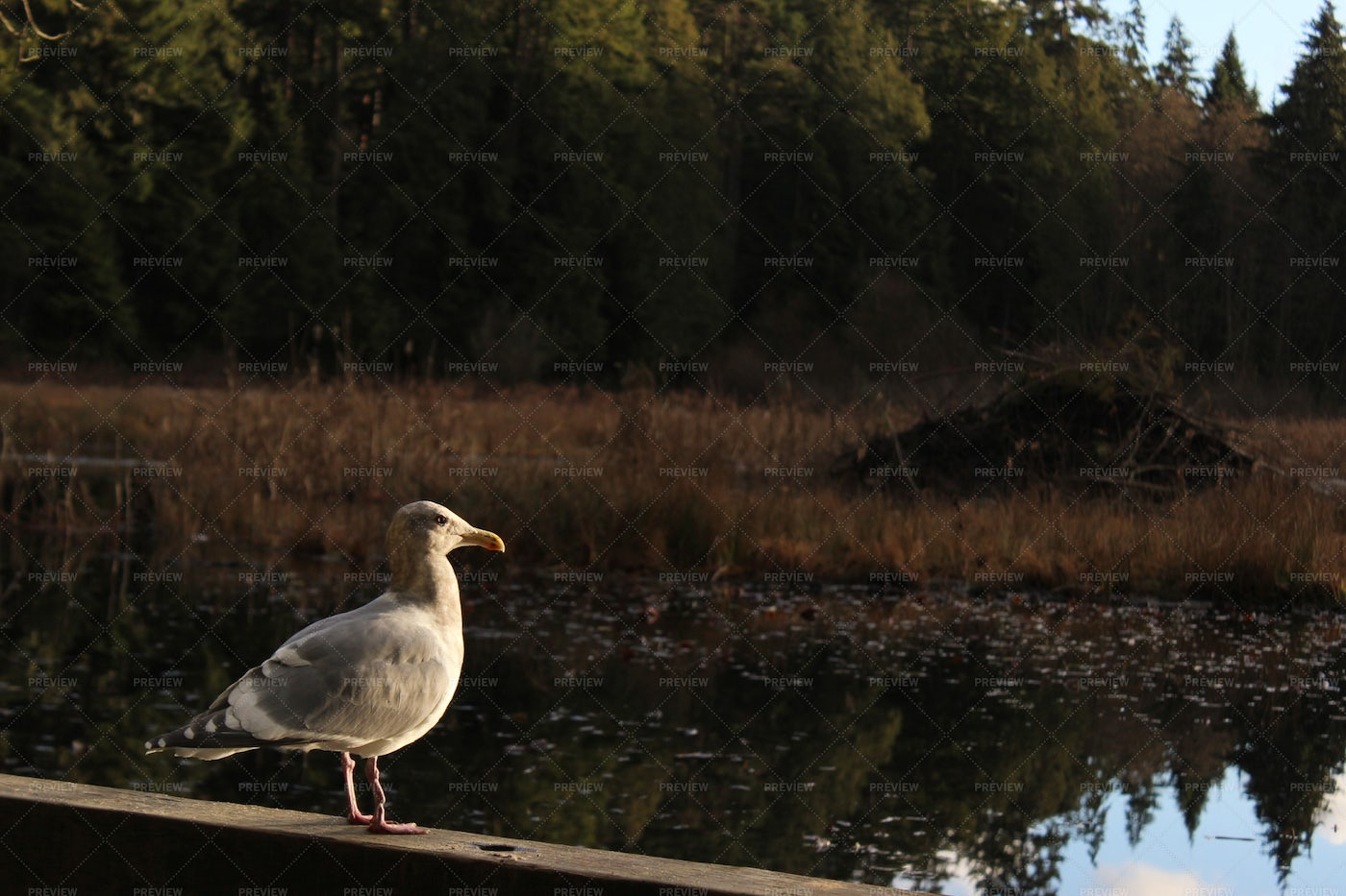 Seagull Watches The Water: Stock Photos