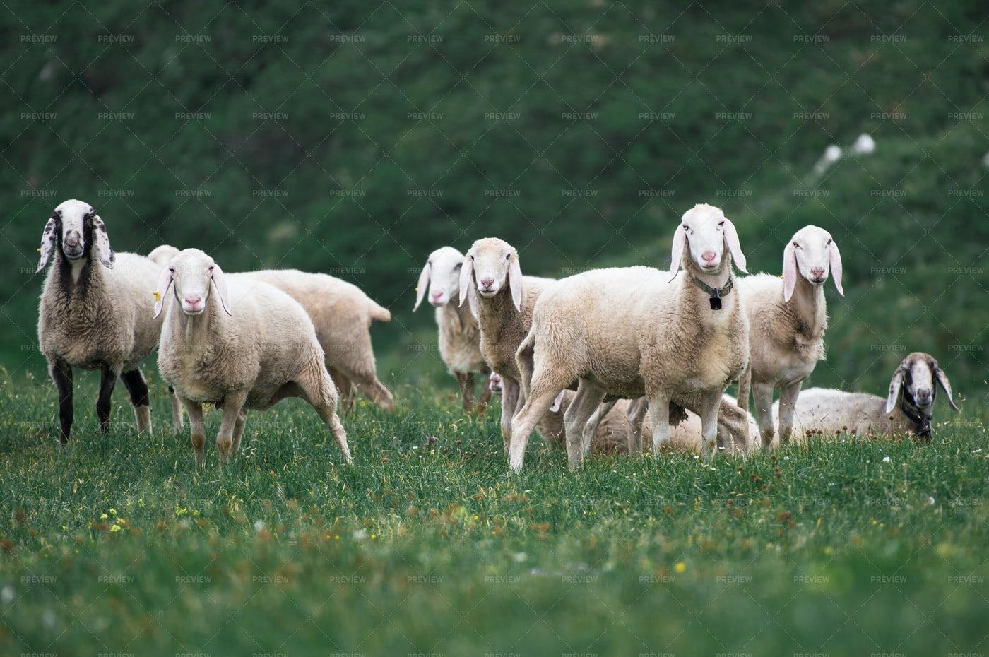 Grazing Sheep Herd: Stock Photos