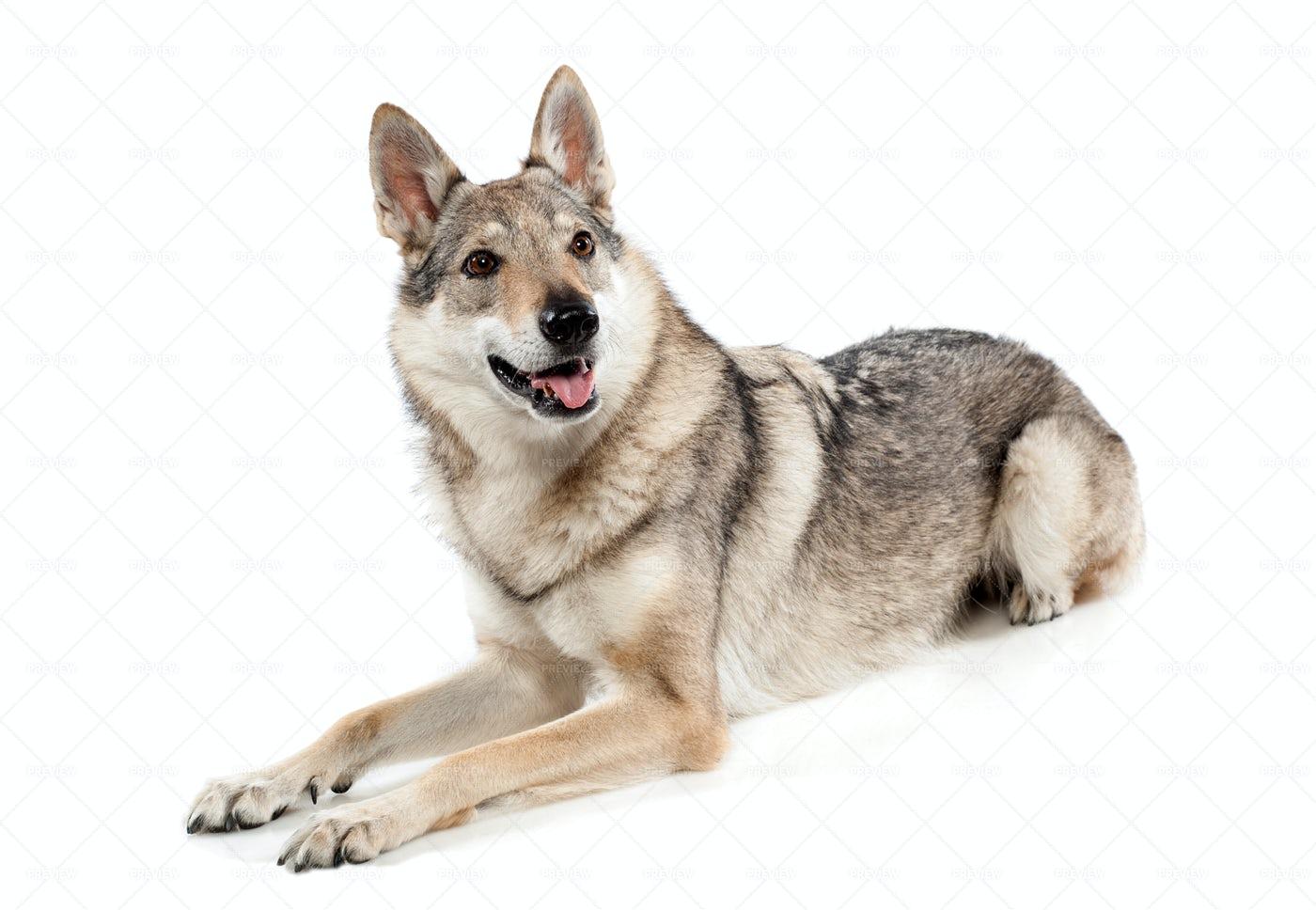 A Czechoslovakian Wolfdog Sits: Stock Photos
