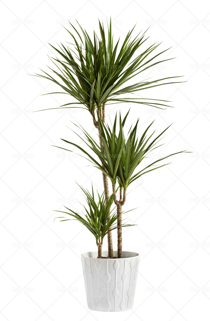 Yucca Plant Potted: Stock Photos