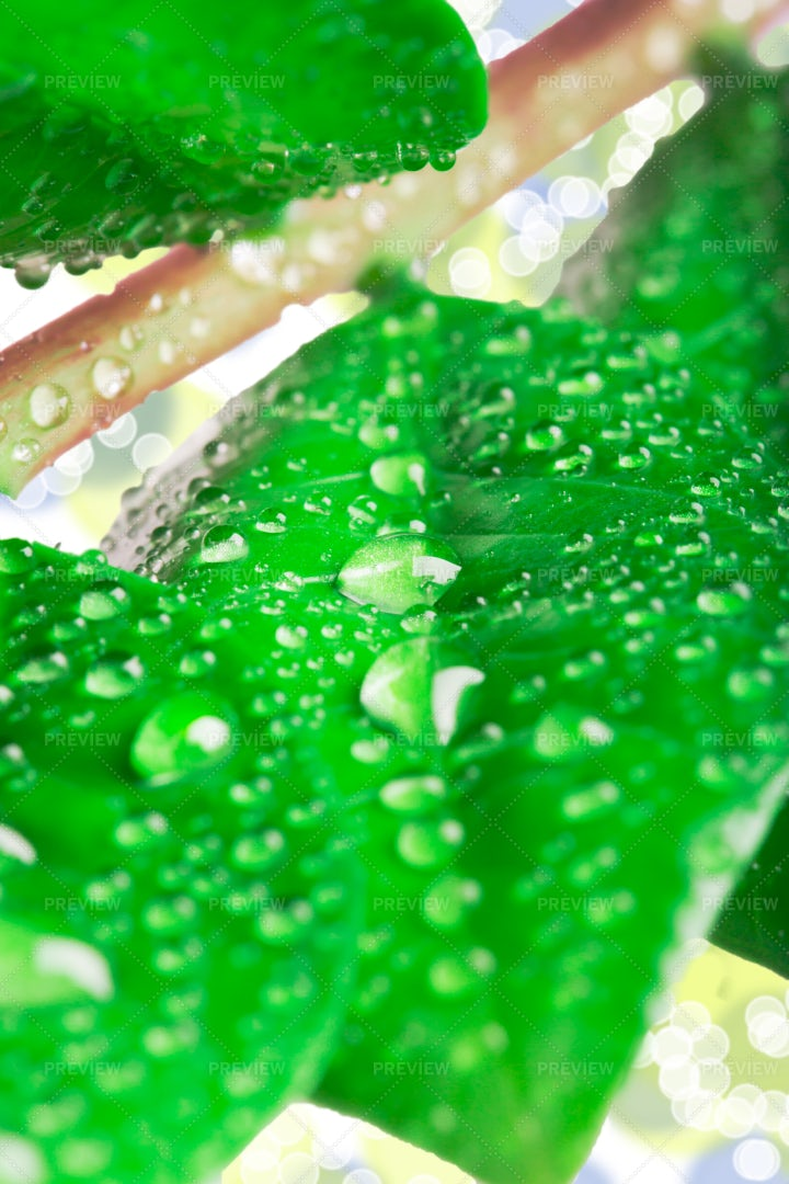 Green Leaves And Water Drops: Stock Photos