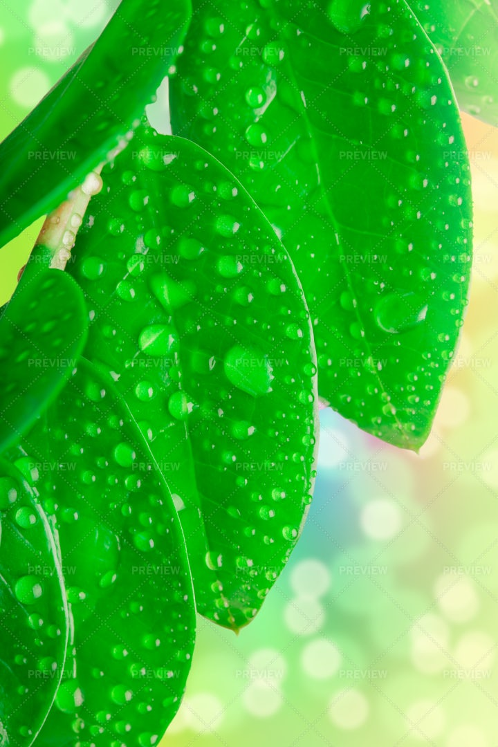 Damp Green Leaves: Stock Photos