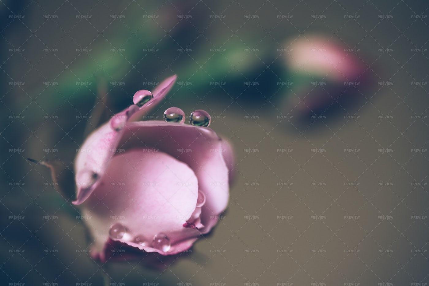 Damp Rose Blossom: Stock Photos