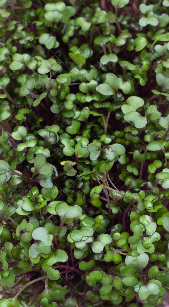 Sprouting Microgreens: Stock Photos