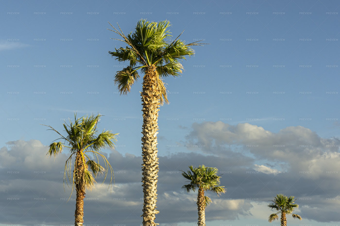 A Series Of Palm Trees: Stock Photos