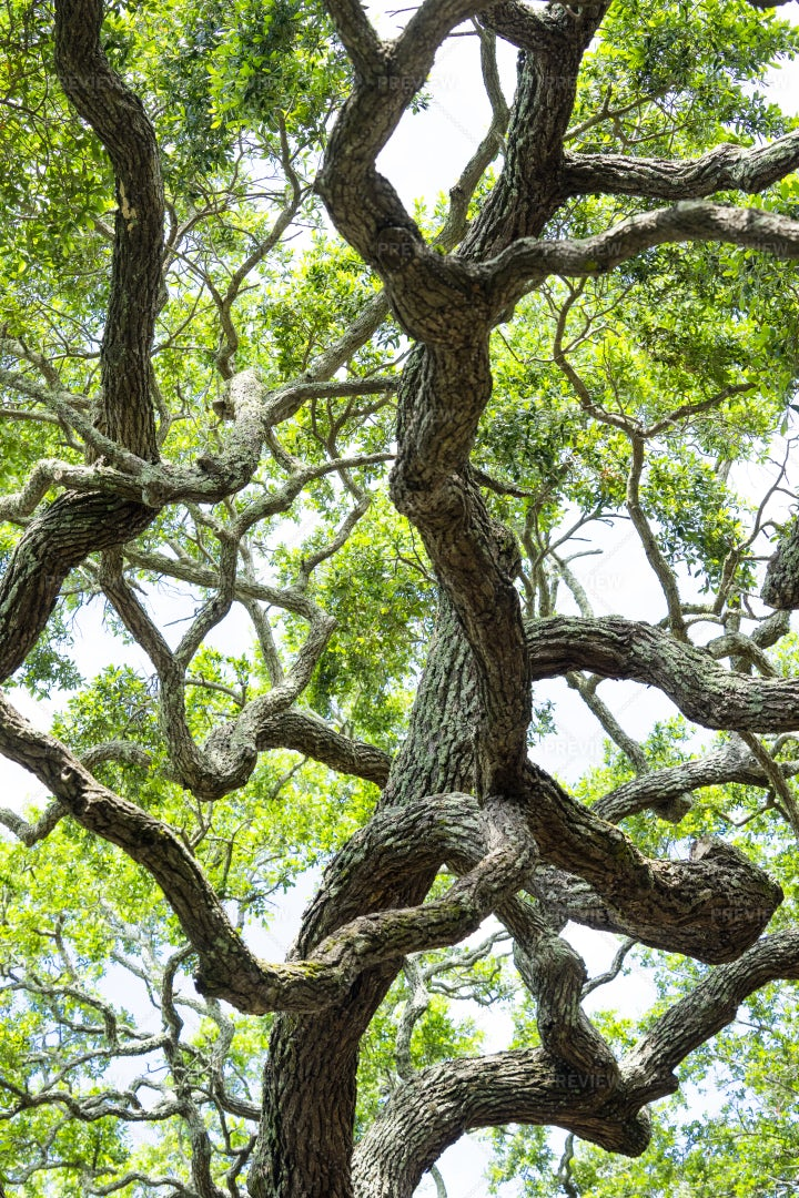 Branches Of Oak Tree: Stock Photos