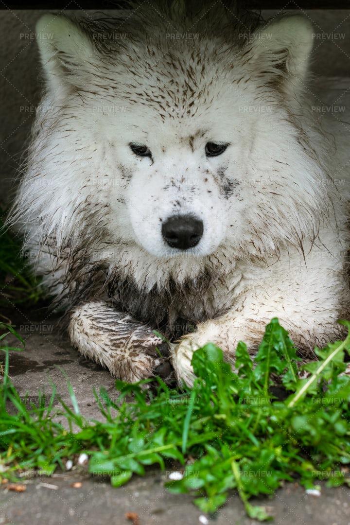 Dirty Samoyed Dog: Stock Photos