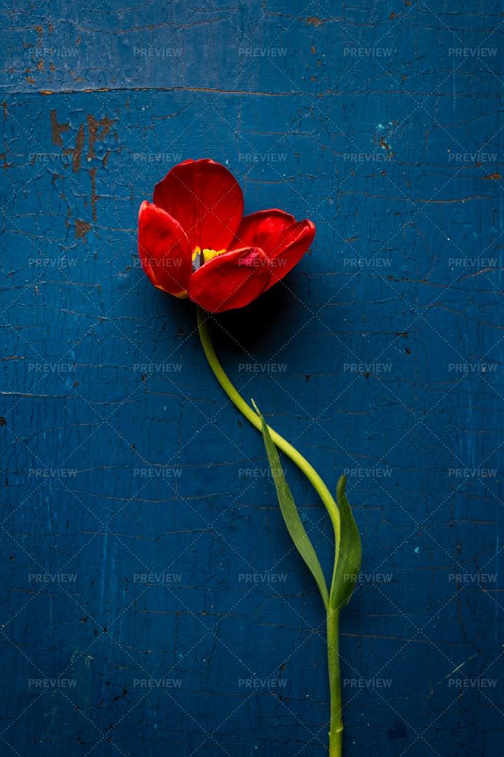 Single Red Tulip: Stock Photos