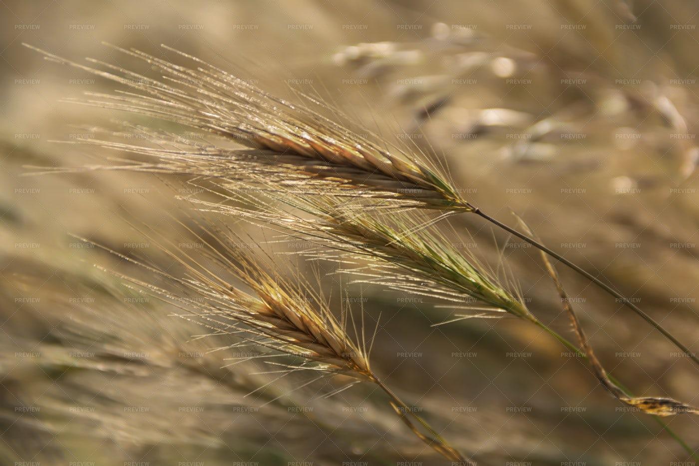 Wheat Field: Stock Photos