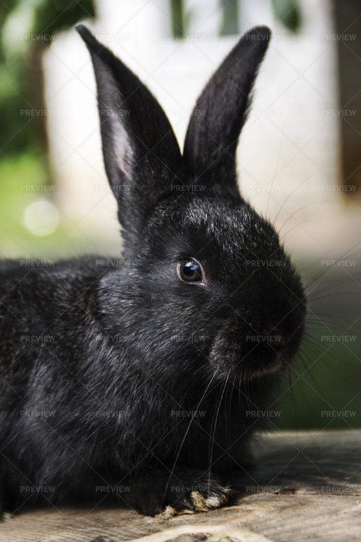 Black Rabbit: Stock Photos