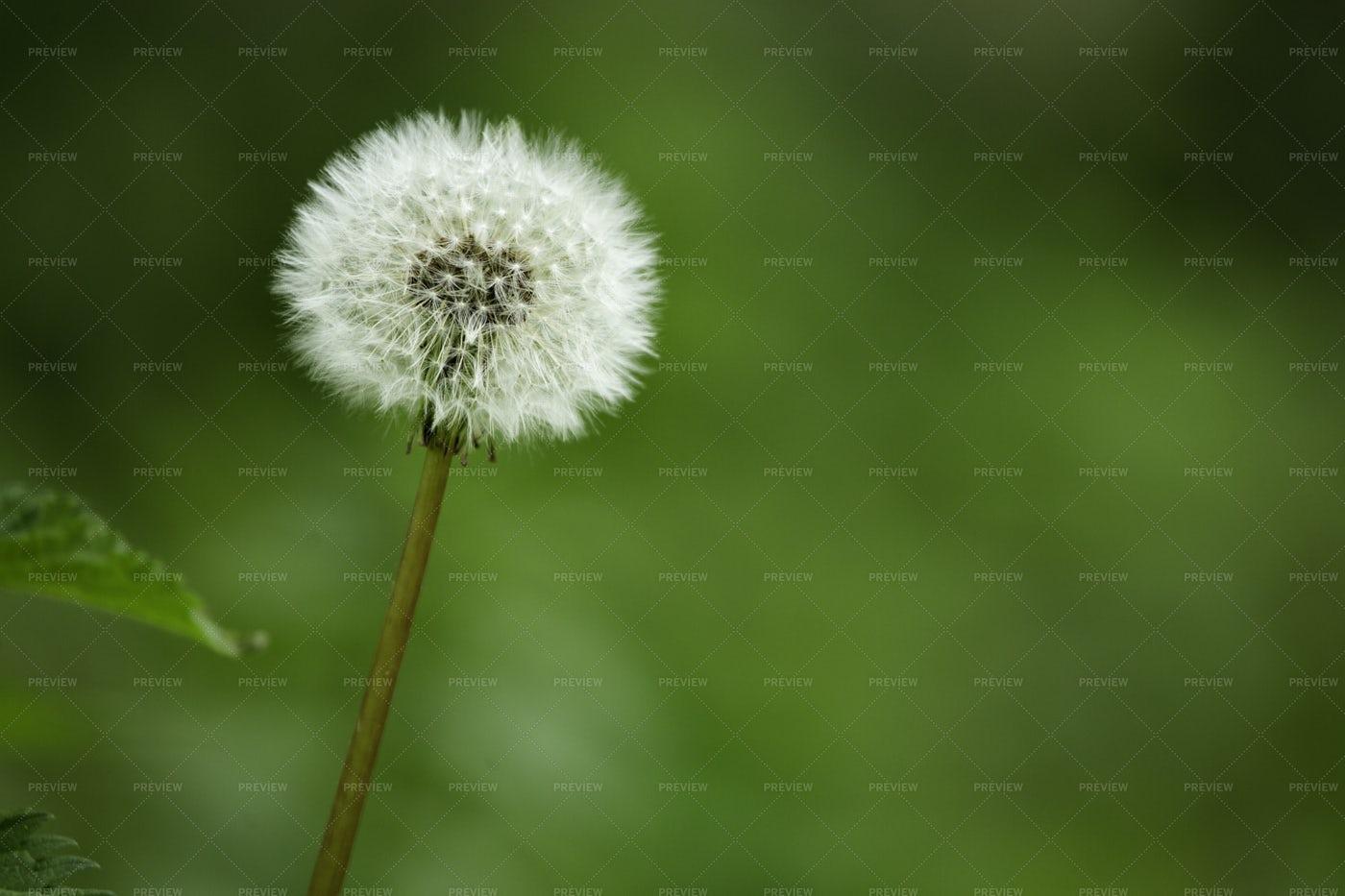 Dandelion On Green Background: Stock Photos