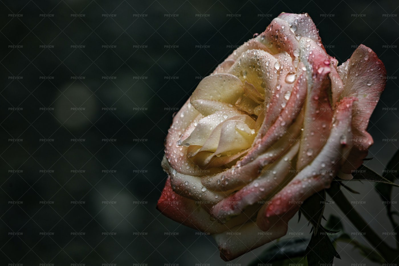 Rose Wet From The Rain: Stock Photos