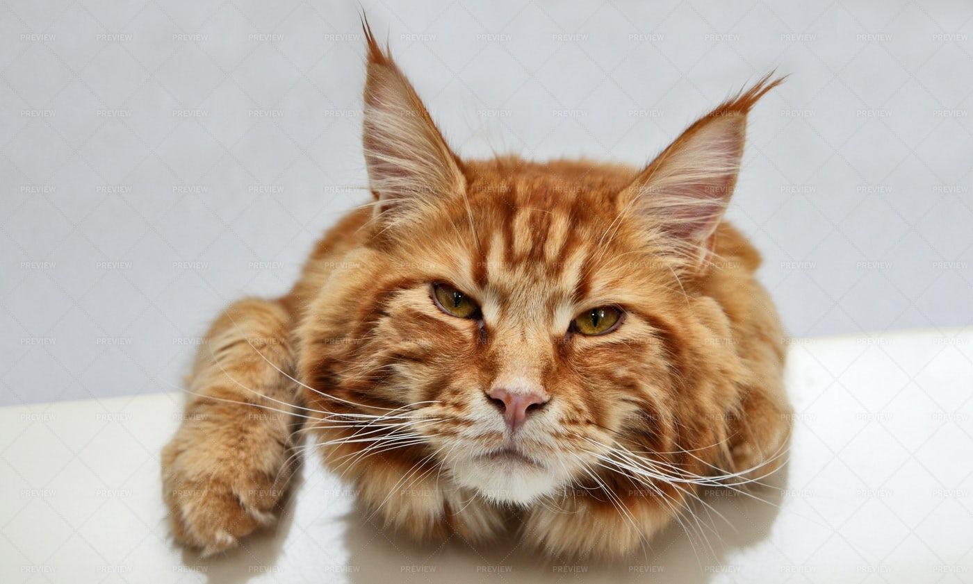 Yellow Cat: Stock Photos