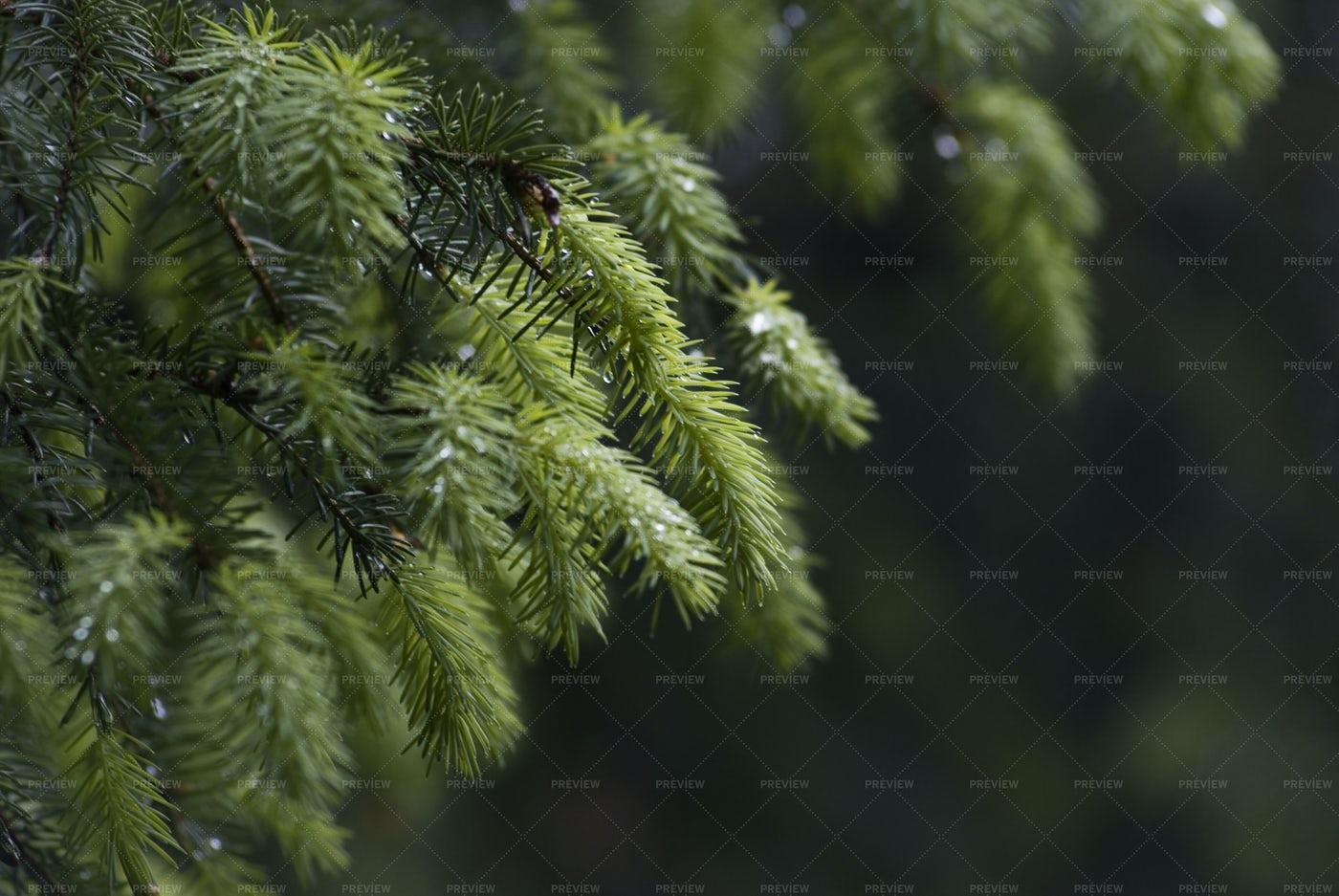 Christmas Tree Branch: Stock Photos