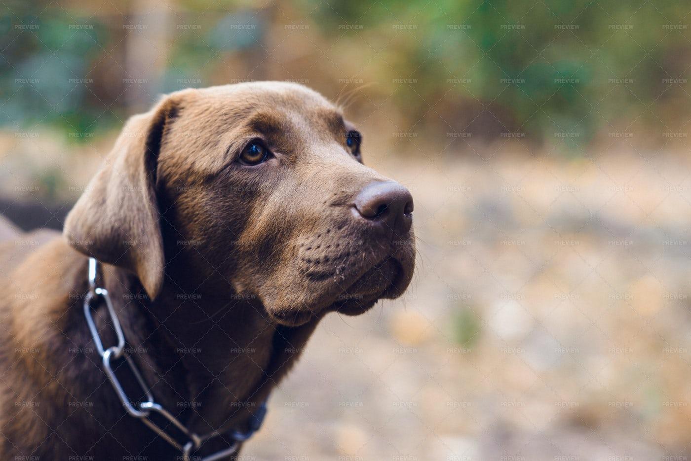 Portrait Of A Labrador: Stock Photos