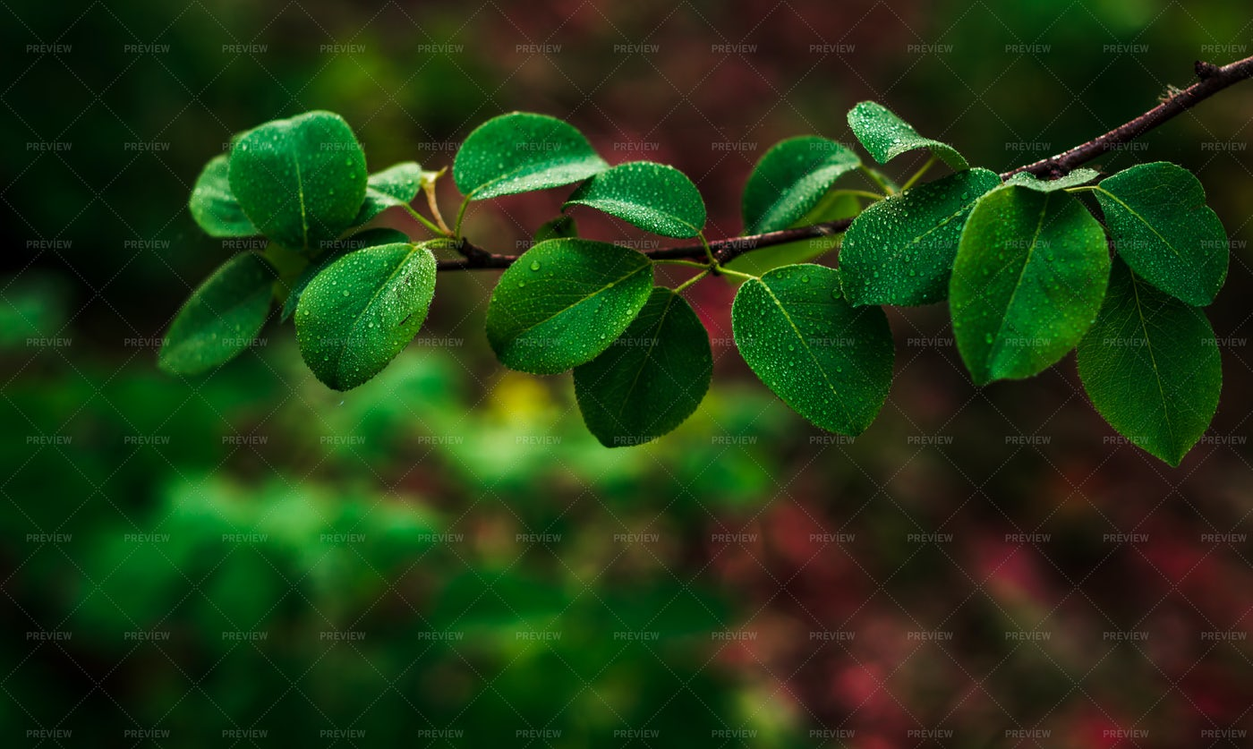Drops On Green Leaves: Stock Photos