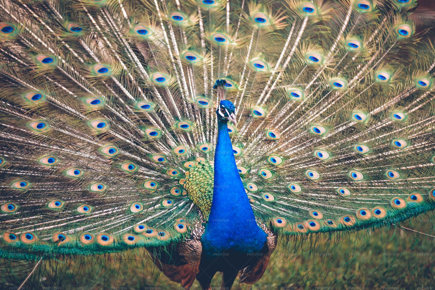 Male Peacock Showing Off: Stock Photos