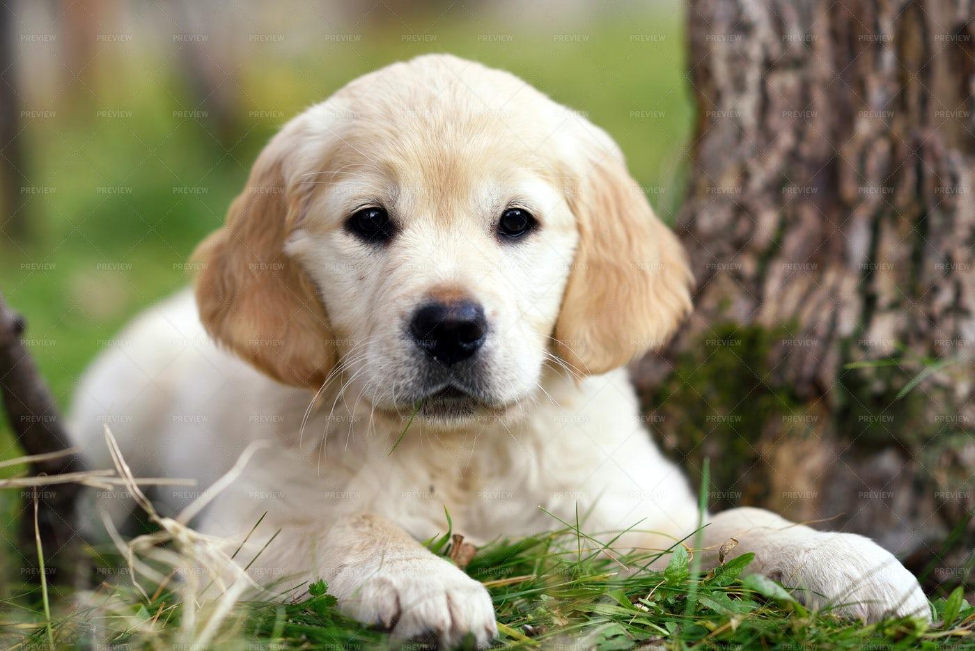 Golden Retriever Puppy: Stock Photos