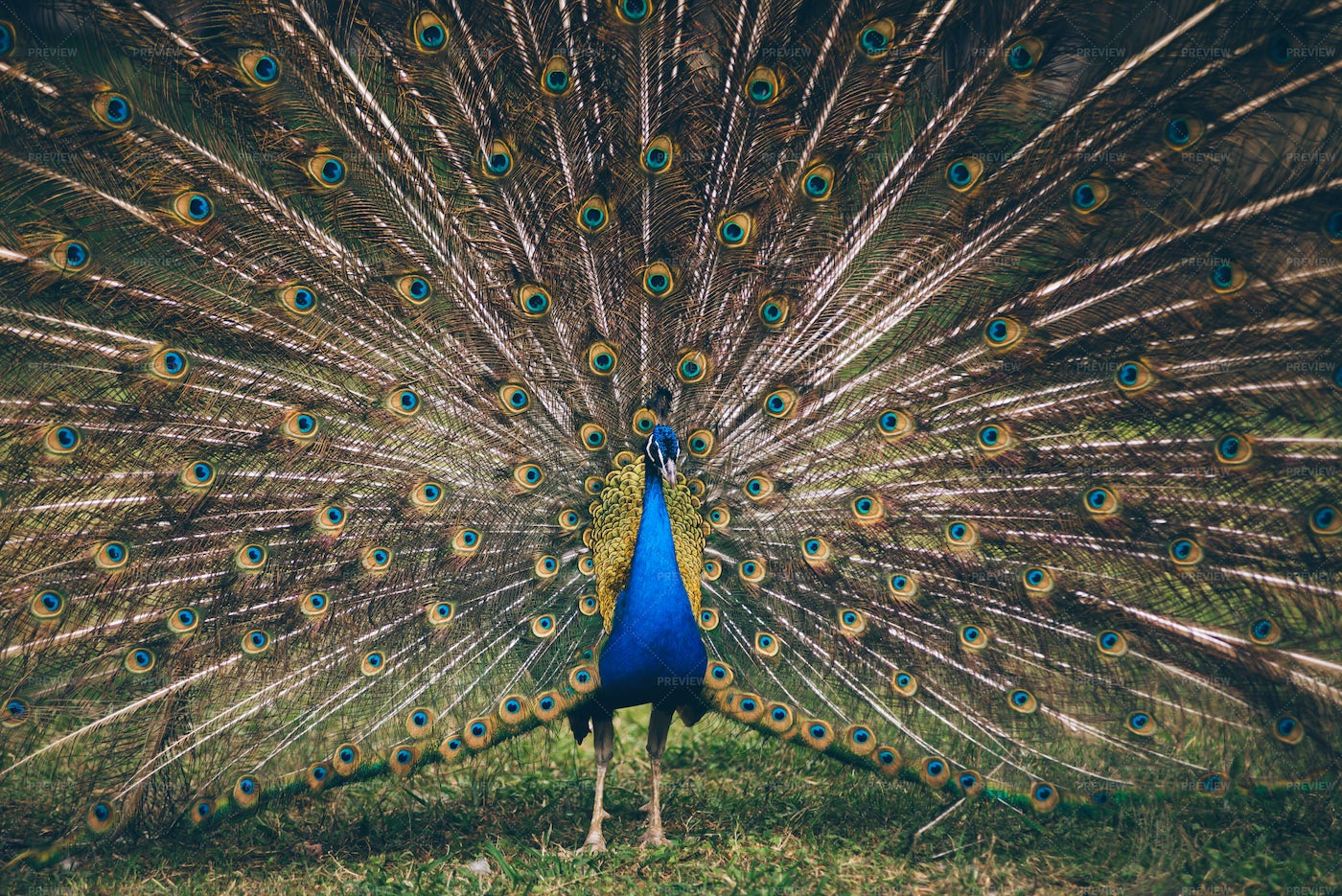 Peacock Showing Its Feathers: Stock Photos