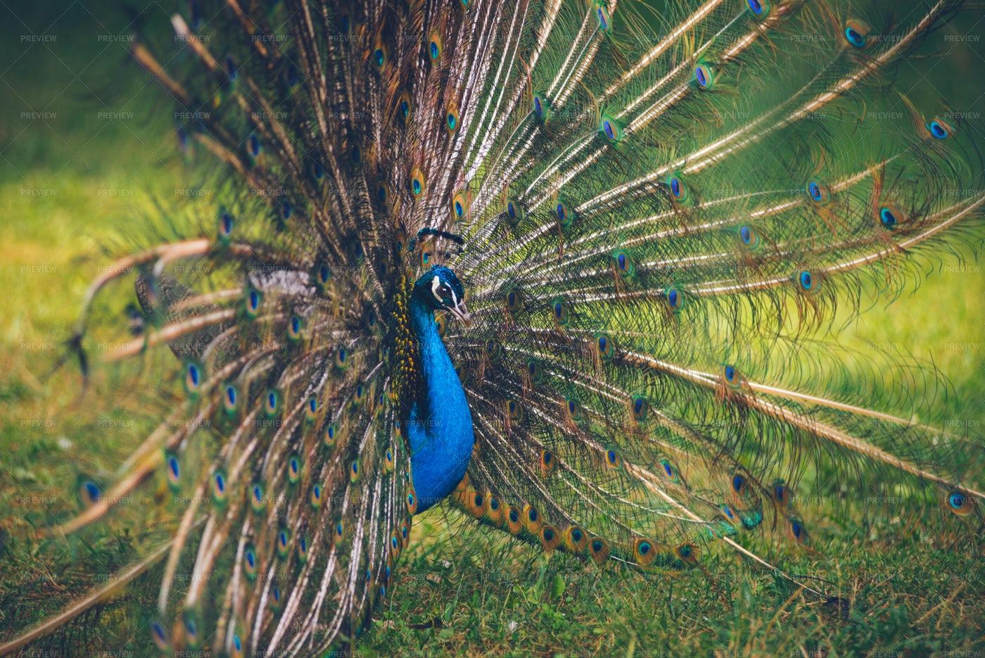 Colorful Peacock: Stock Photos