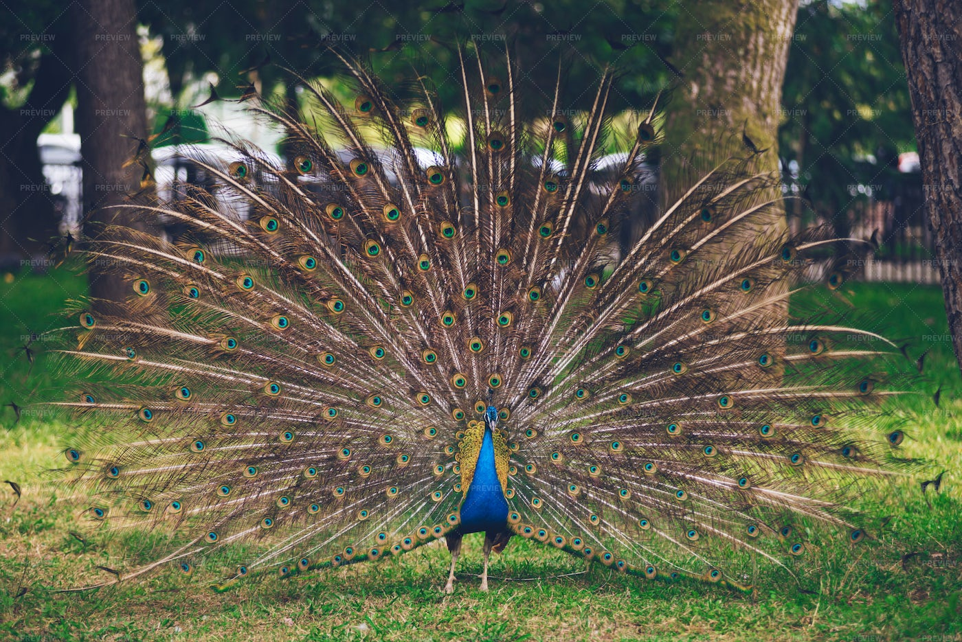 Peacock With Open Tail: Stock Photos