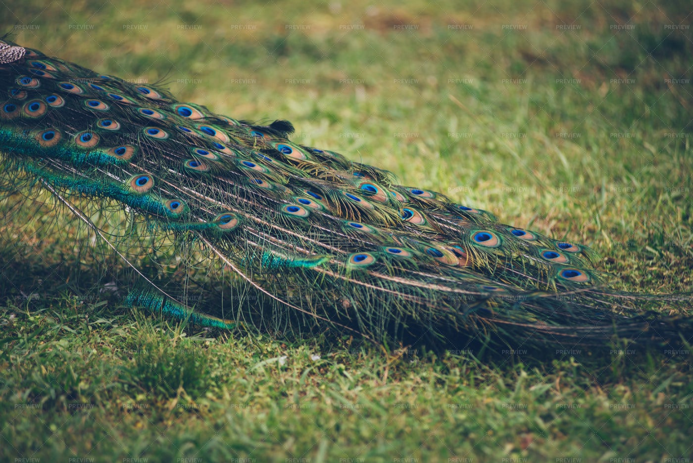 Colorful Peacock Feathers: Stock Photos