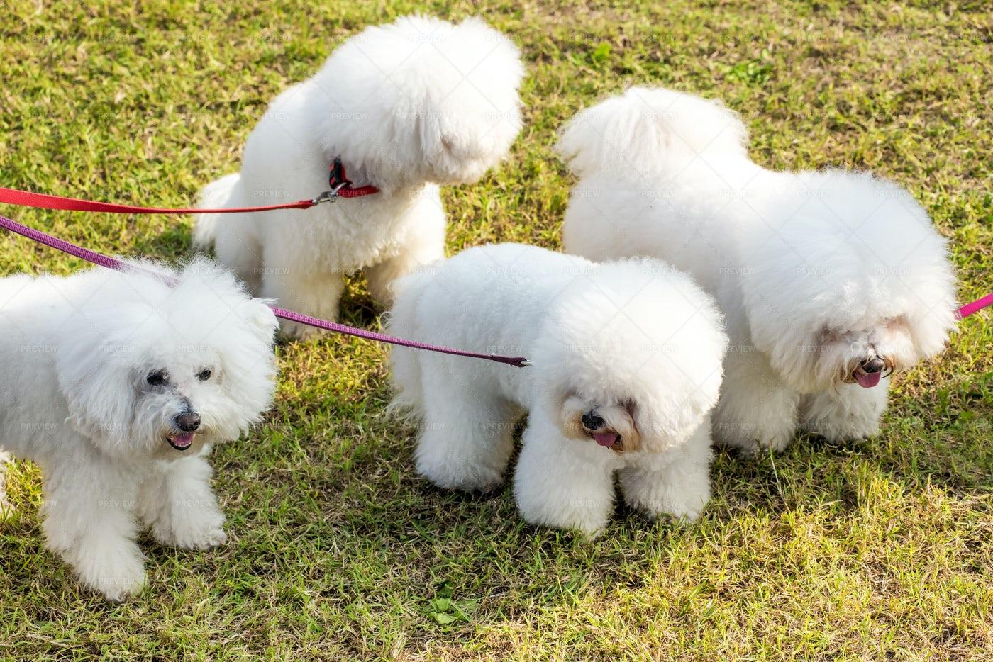 Four White Dogs: Stock Photos