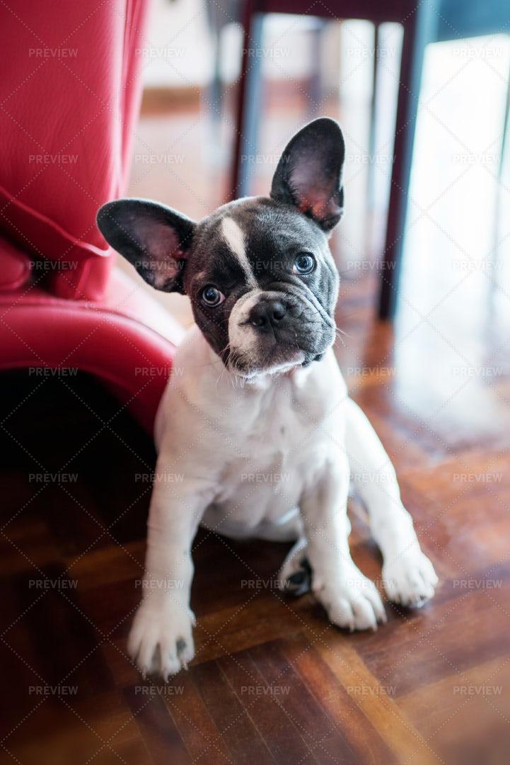 French Bulldog Puppy: Stock Photos
