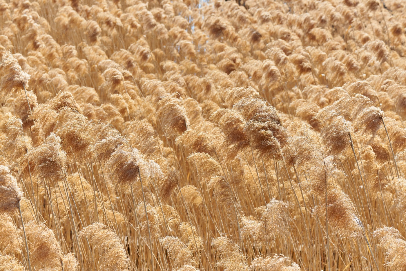 Golden Reeds In The Wind: Stock Photos