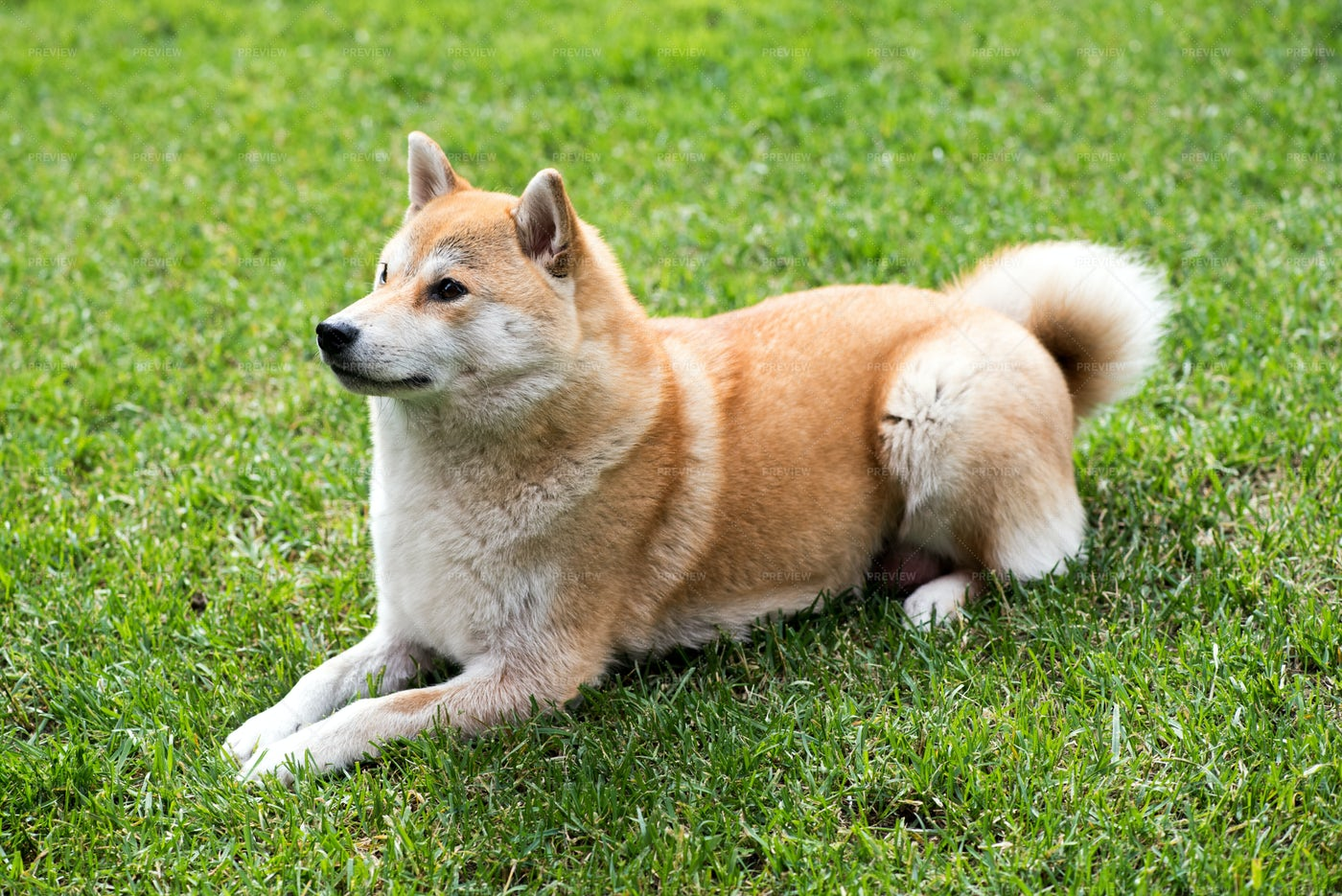 Shiba Inu Dog: Stock Photos