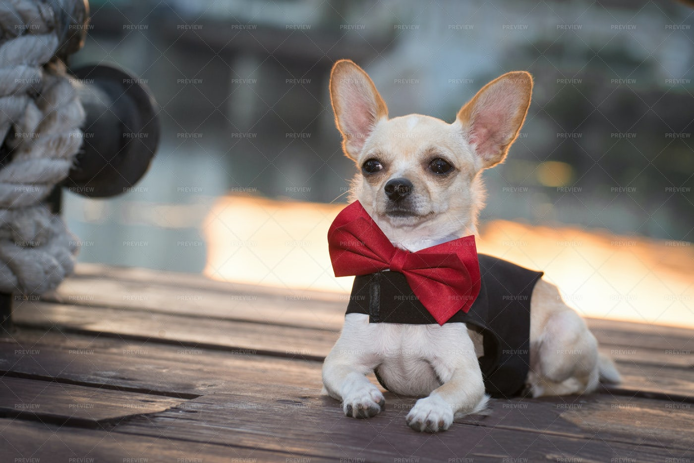 Dog In A Bow Tie: Stock Photos