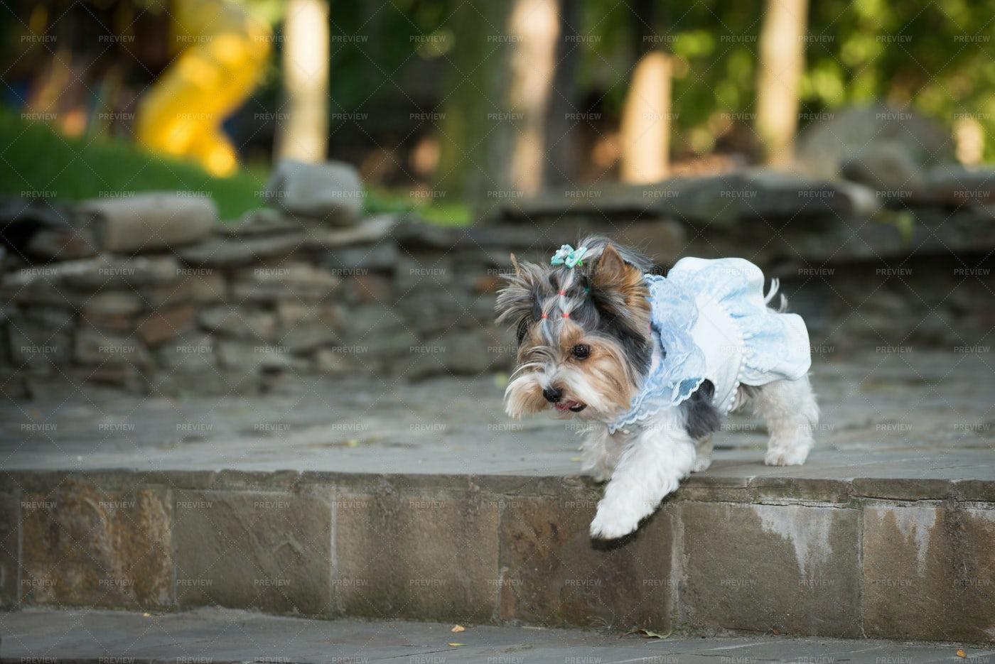 Dog In A Wedding Dress: Stock Photos
