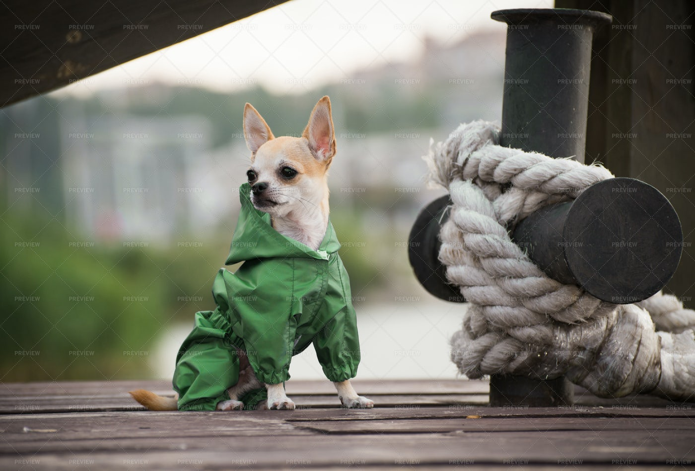 Chihuahua In Green Overalls: Stock Photos