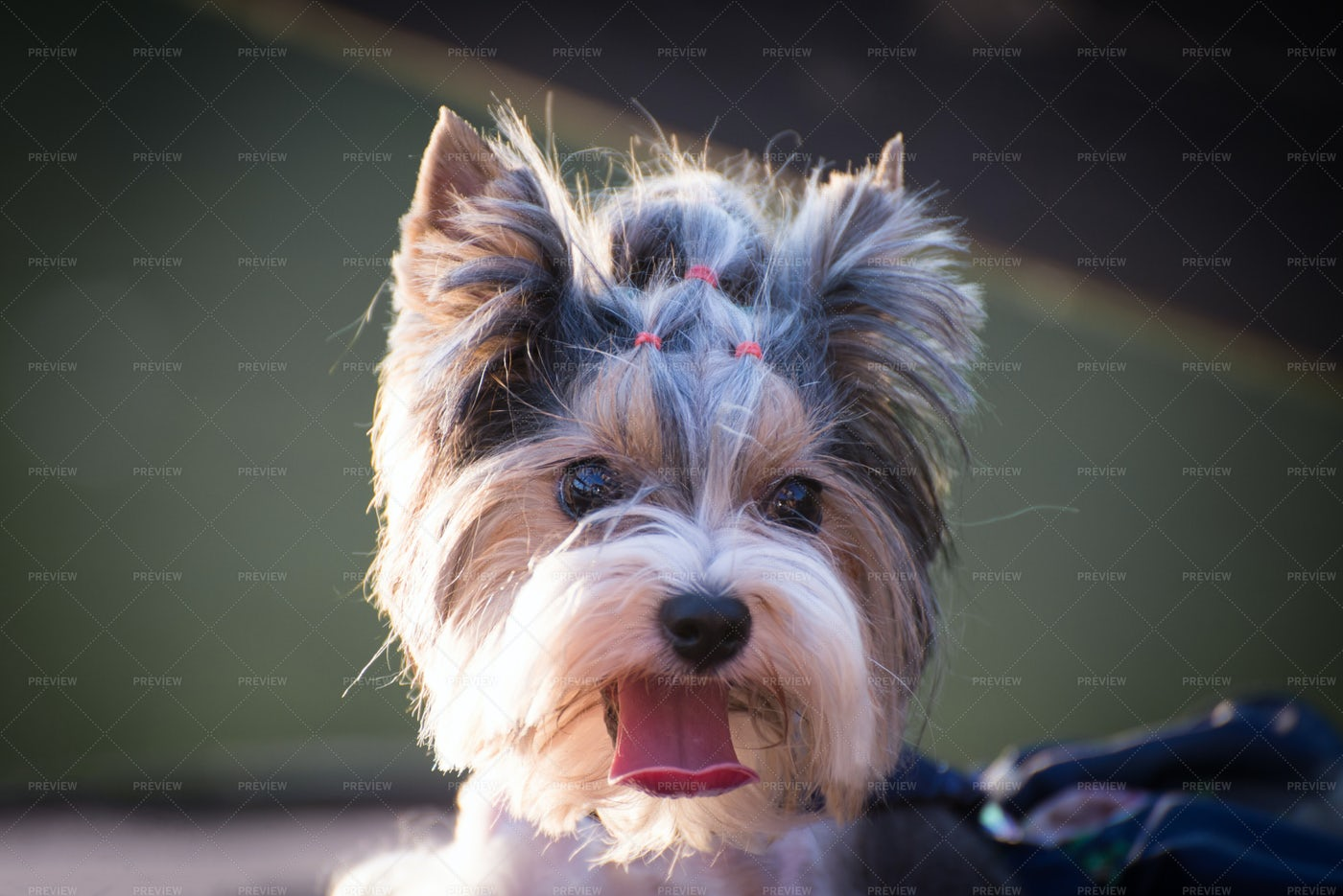 Dog With A Hairstyle: Stock Photos