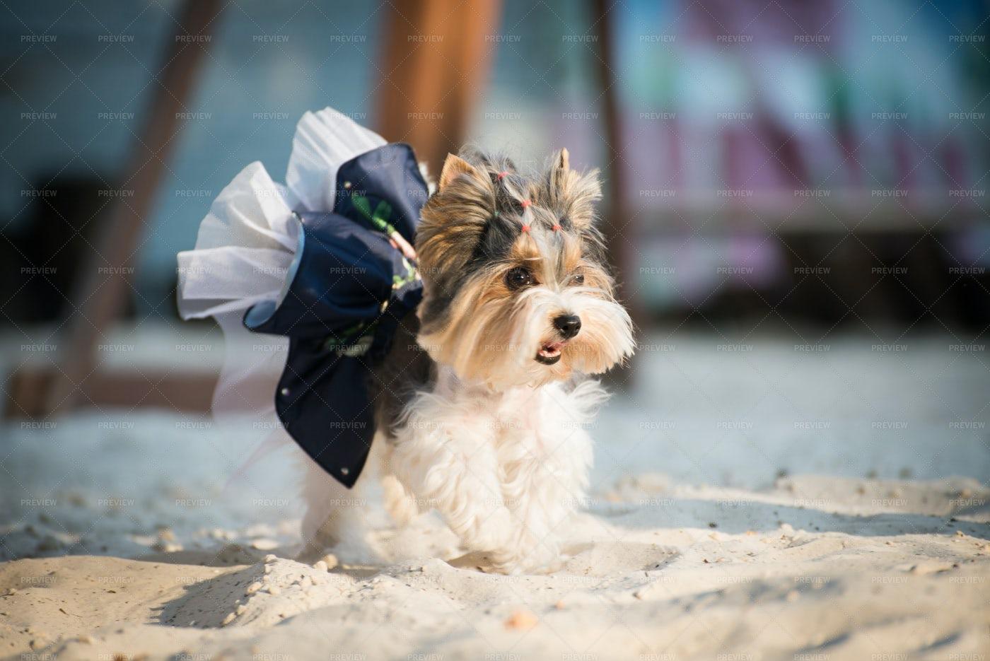 Dog In A Dress: Stock Photos