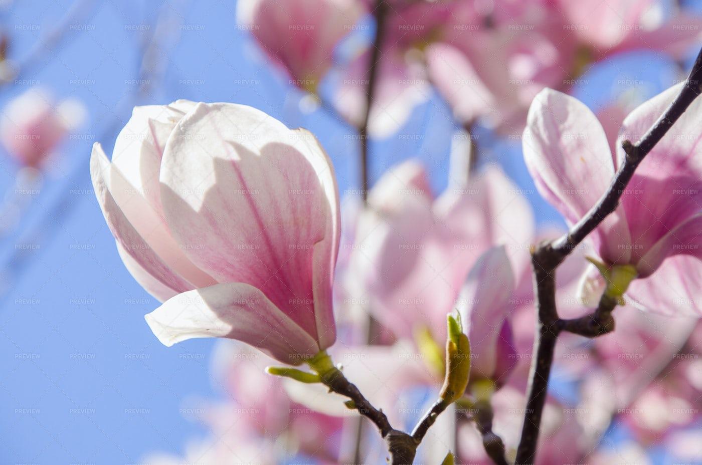 Blossom Magnolia: Stock Photos