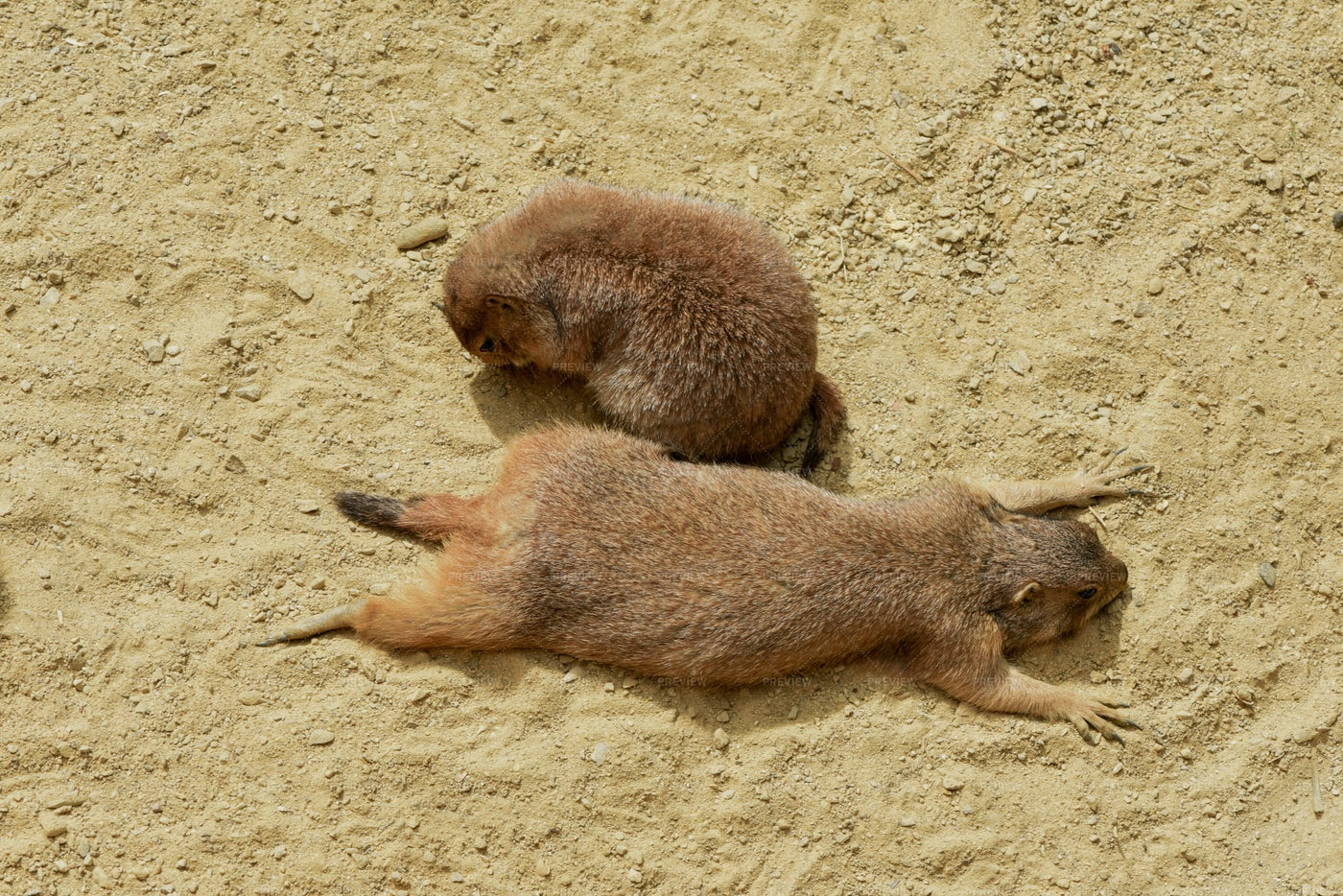 Two Prarie Dogs: Stock Photos