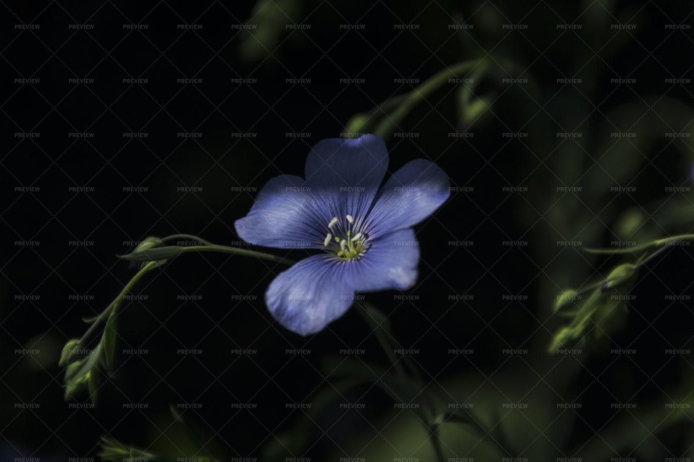 Flax Flower: Stock Photos
