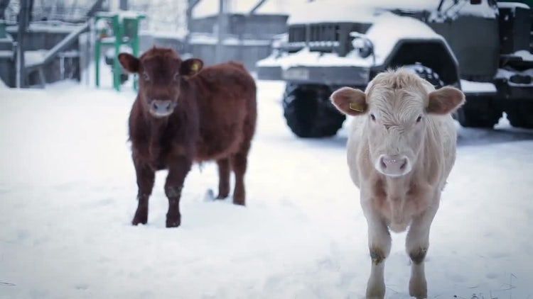 Two Cows On A Winter Day: Stock Video