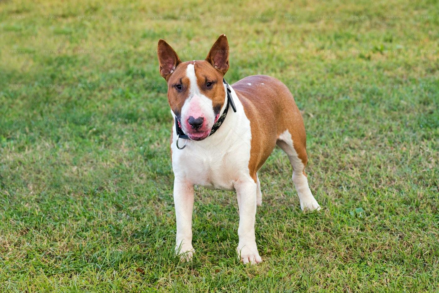 Bull Terrier: Stock Photos