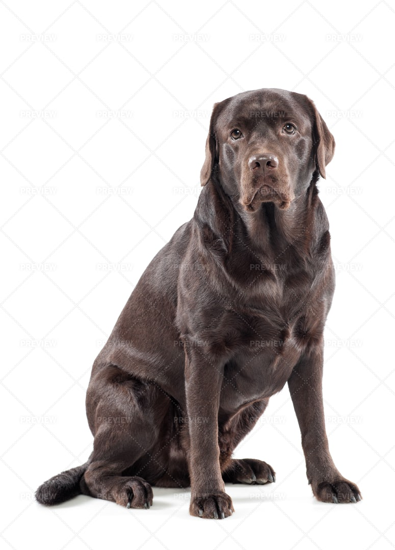 Big Chocolate Labrador: Stock Photos