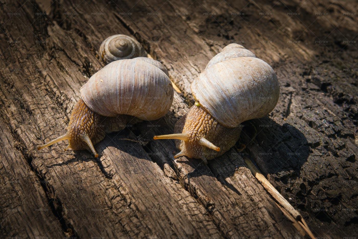 Two Big Snails: Stock Photos