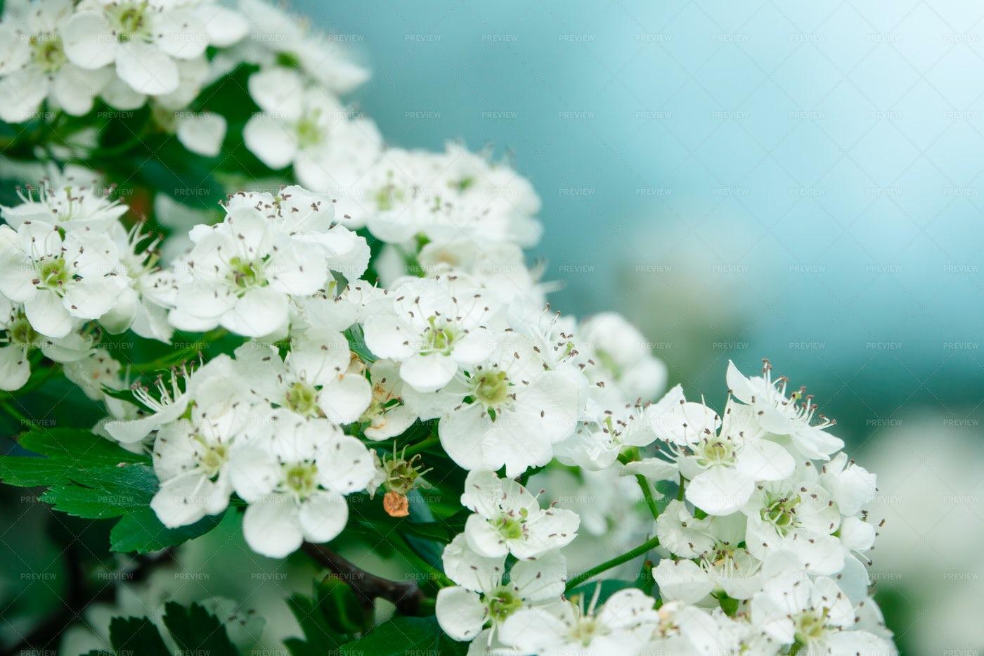 White Flowers On A Bush: Stock Photos