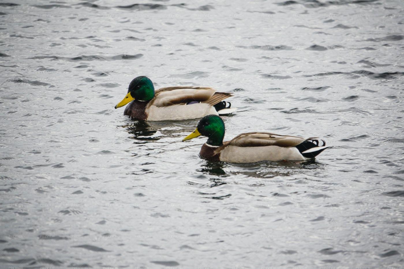 Ducks On Lake: Stock Photos